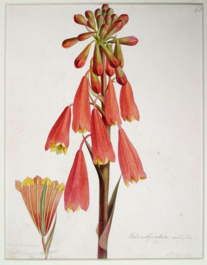 Blanfordia punicea (Christmas bells) QVM.1958.FD.13