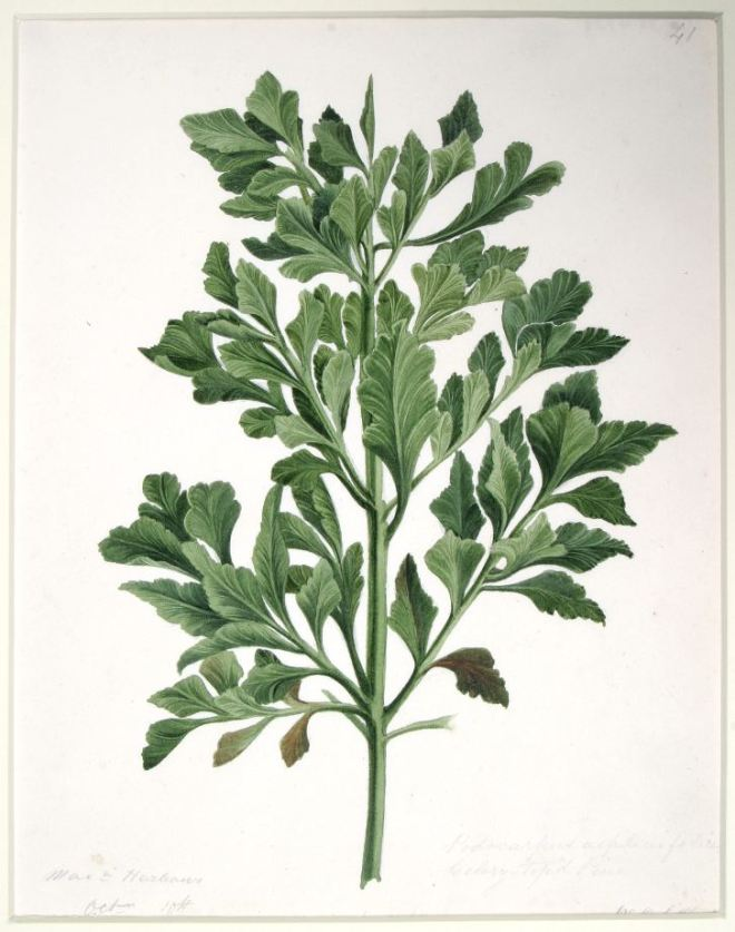 Podocarpus asplenifolius (Celerytop pine), QVM.1958.FD.28