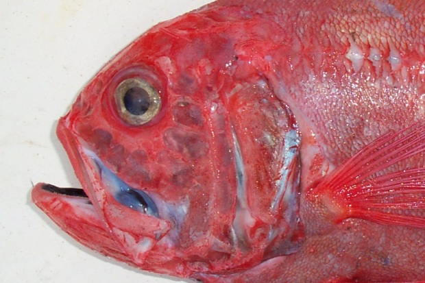 Plate 2. The jaws of an orange roughy have fine teeth.