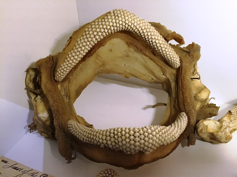 Plate 7. The jaws of the Port Jackson shark.