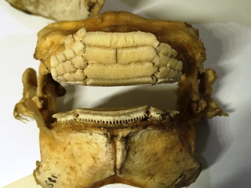 Plate 8. The plate-like teeth of the eagle ray (Myliobatus australis).